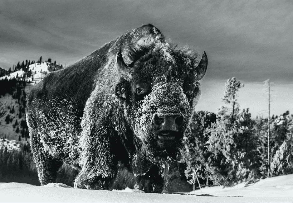 David Yarrow, The Beast of Yellowstone, 2021