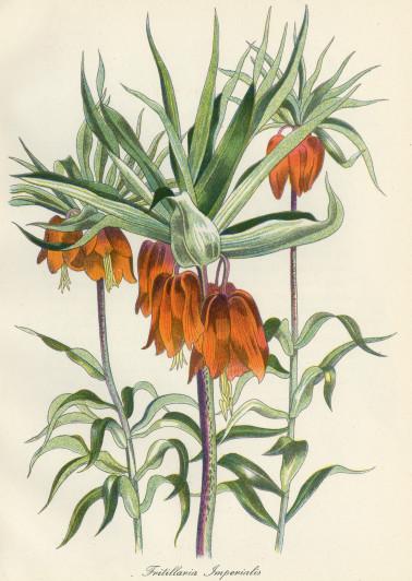 John Nash RA Fritillaria Imperialis