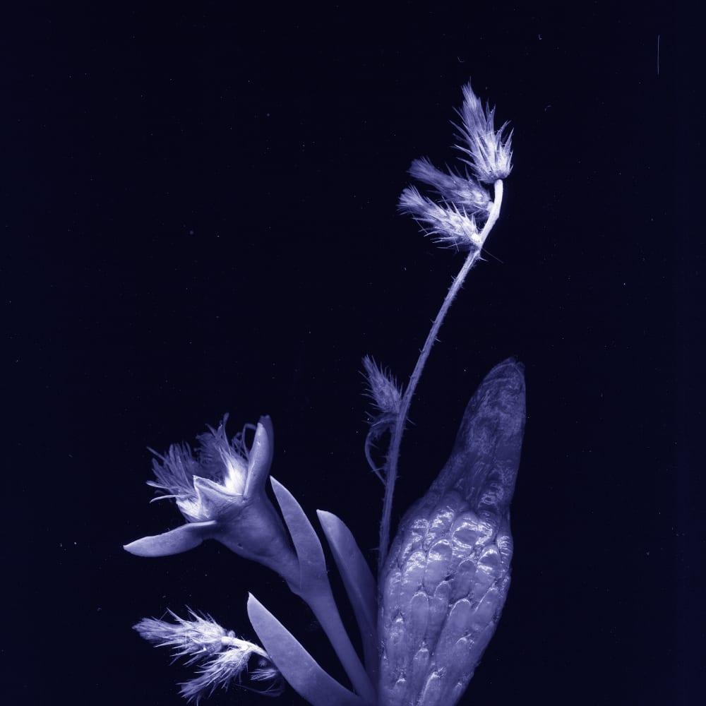 WeiXin Quek Chong  flores nativias .2, 2017  Print  68.8 x 40.8 cm  Edition of 5 plus 1 artist's proof
