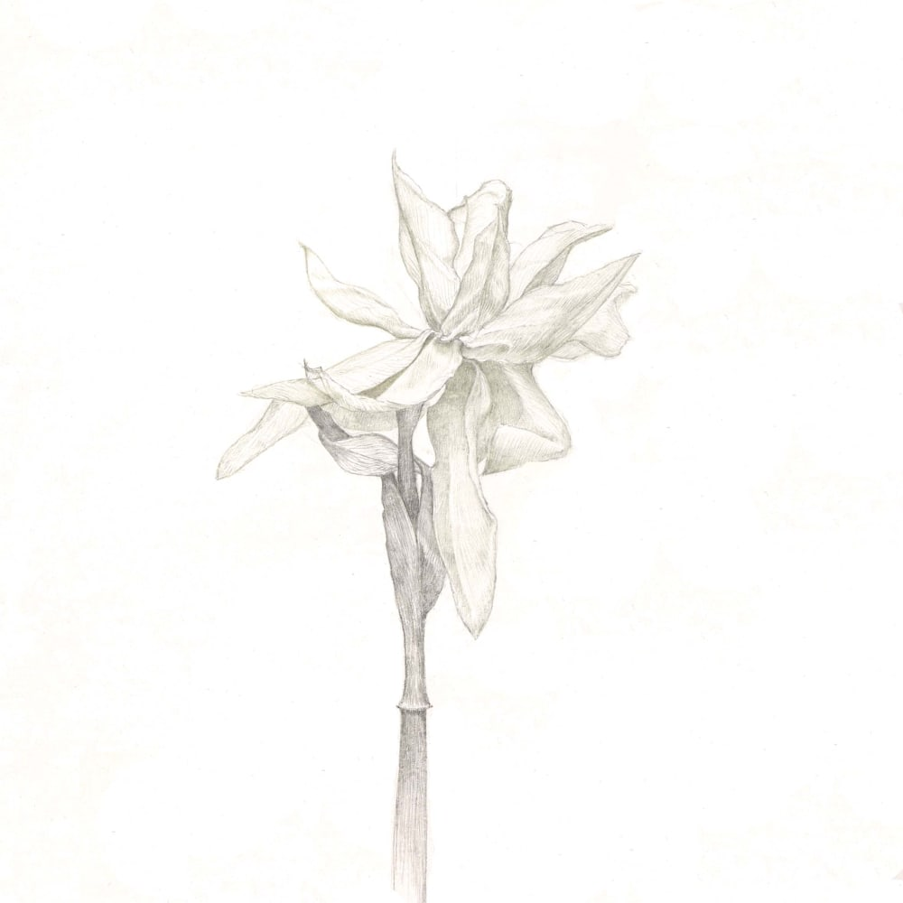 Marjorie Williams-Smith  Daffodil in Copper, 2010  Copperpoint and Silverpoint  10 x 8