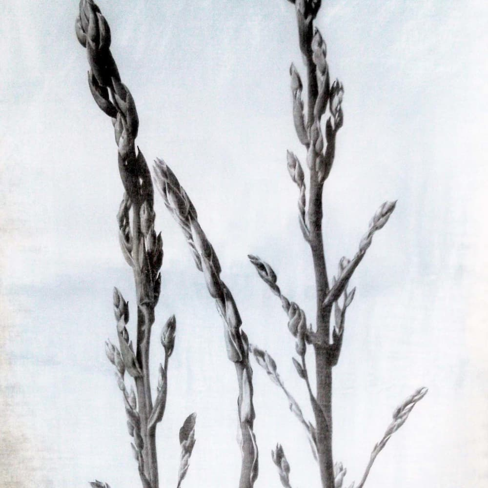 """Marjorie Williams-Smith  Aspire  Silverpoint & Watercolor  20 3/4"""" x 13 5/8"""""""