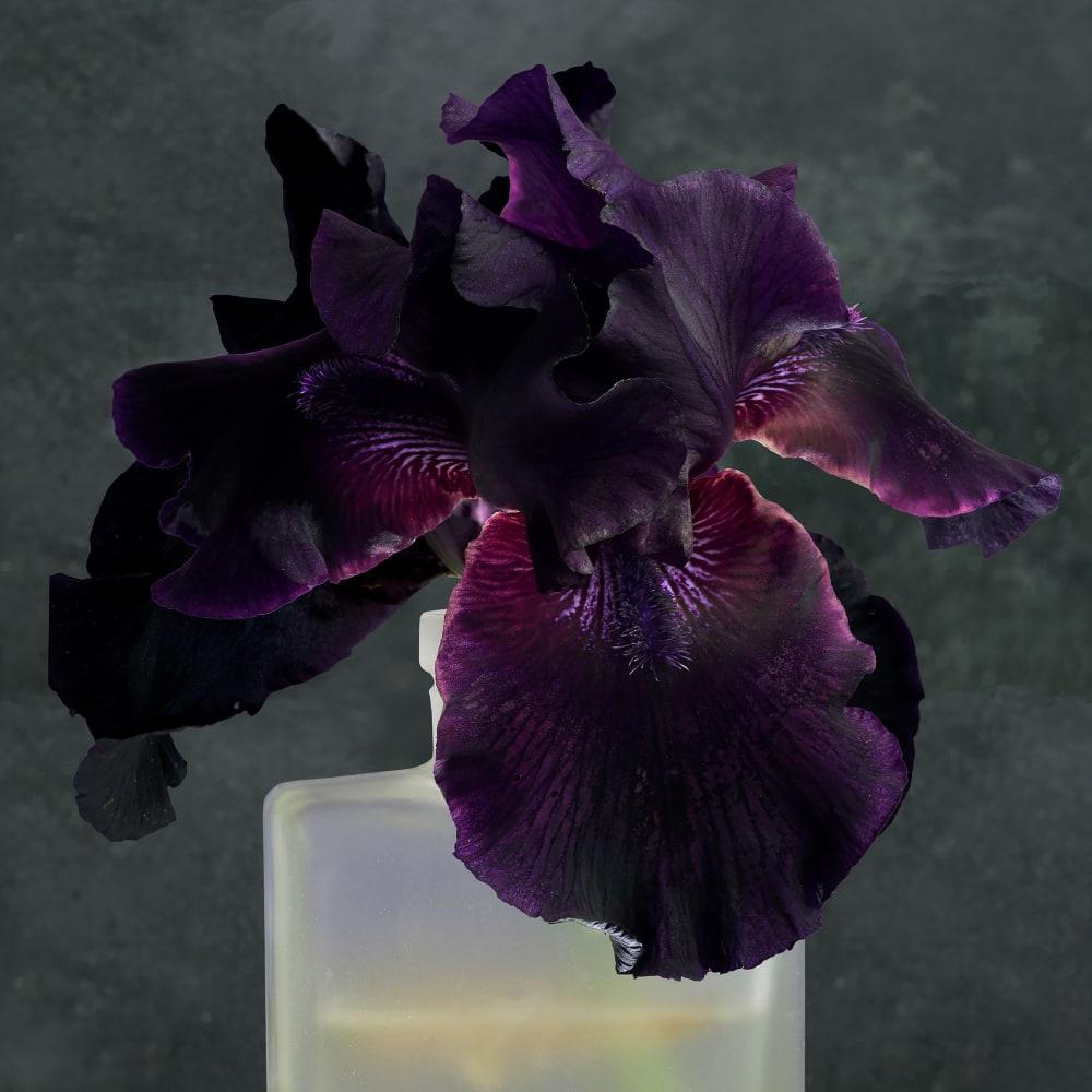 Roger Ricco, Purple Iris 2, 2017