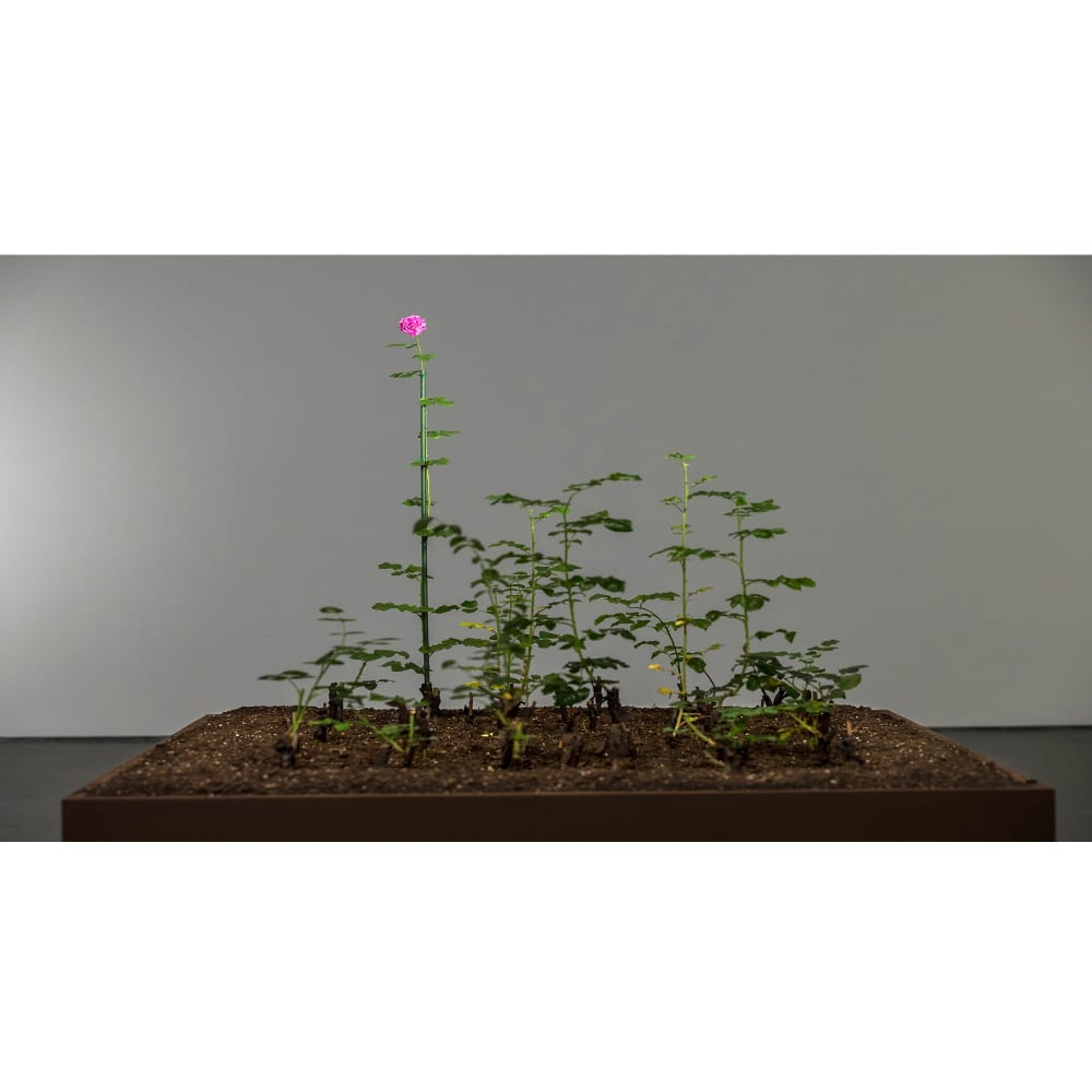 Damascus rose, 2016, Brown University David Winton Bell Gallery, Damask rose cuttings from Damascus grafted in rose plantsvariable dimensions.