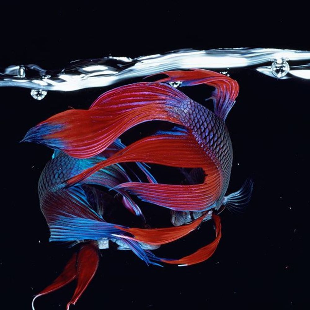 'Fighting Fish', the first of our two part exhibition 'Hiro: Fish and Fowl', continues for just two ...