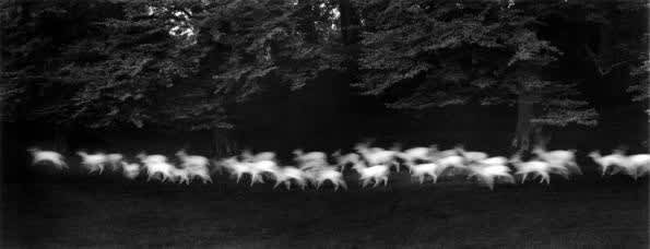 Paul Caponigro, Running White Deer, County Wicklow, Ireland, 1967