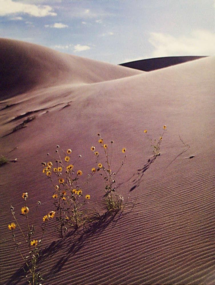 Eliot Porter, Sunflower and sandune, Colorado, 1959