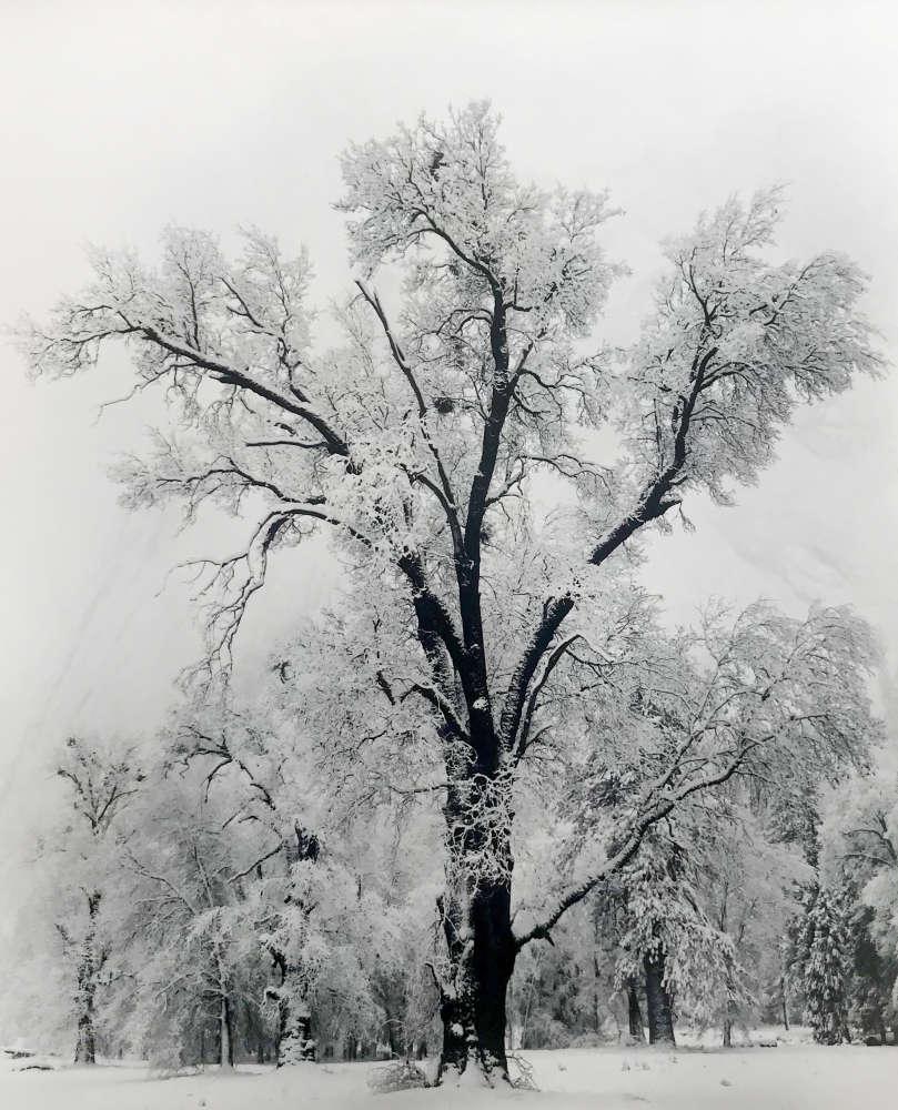 Ansel Adams, Oak Tree, Snow Storm, Yosemite Valley, CA, 1948
