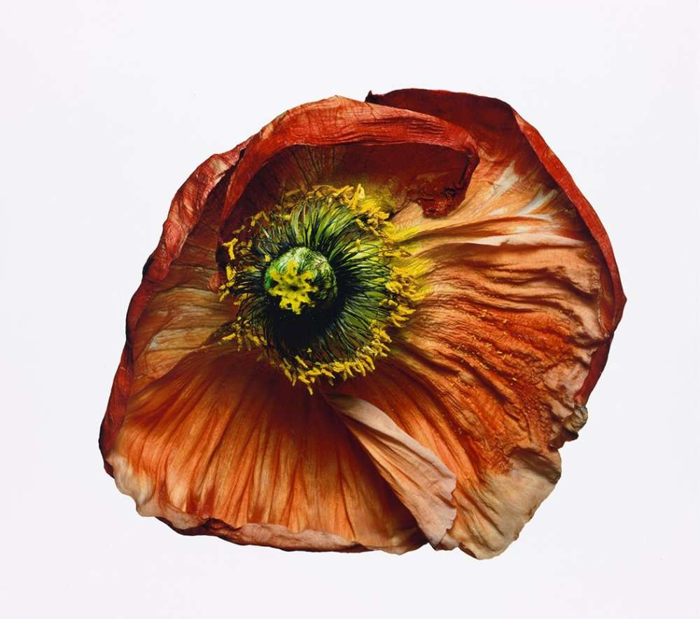 Irving Penn, Iceland Poppy/Papaver nudicaule (B), New York (IP.P.1223), 2006