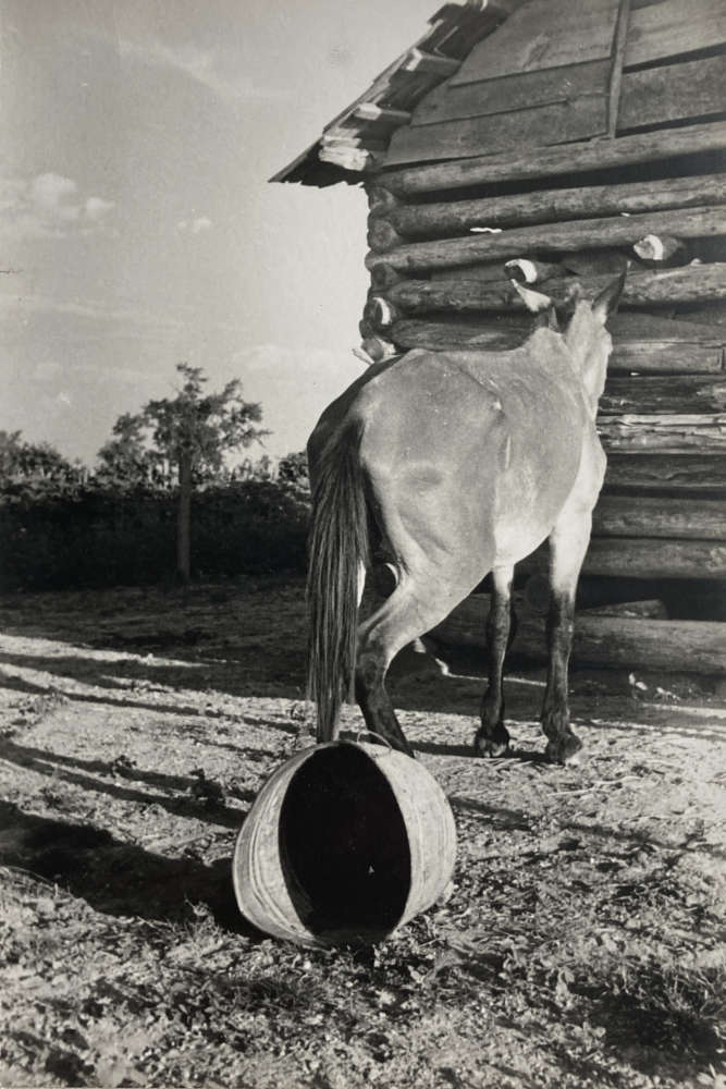 Walker Evans, Untitled (Mule and Overturned Bucket), 1937