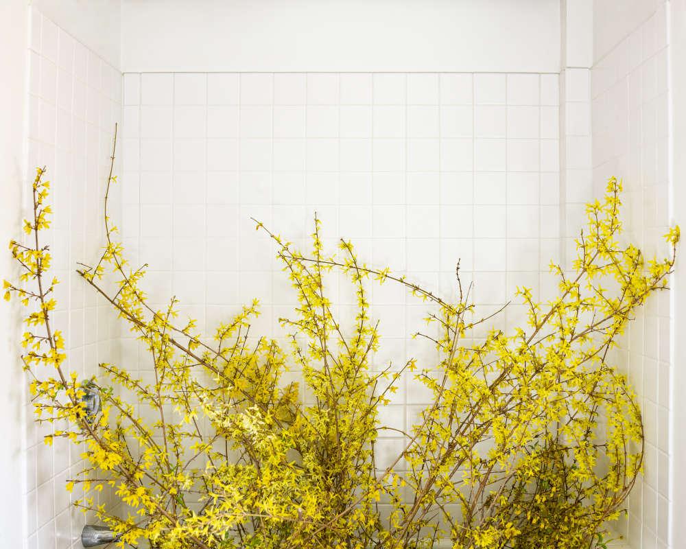 Cig Harvey, Forsythia in the Bathtub (forced), 2020