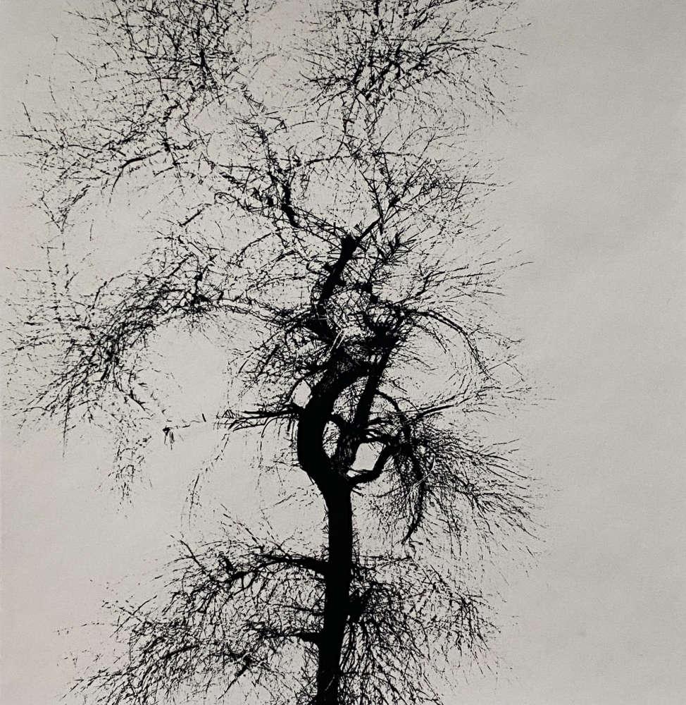 Harry Callahan, Multiple Exposure Tree, 1956