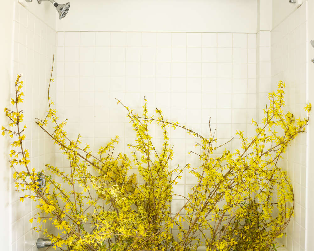 Cig Harvey, Forsythia in the Bathtub (forced), 2020