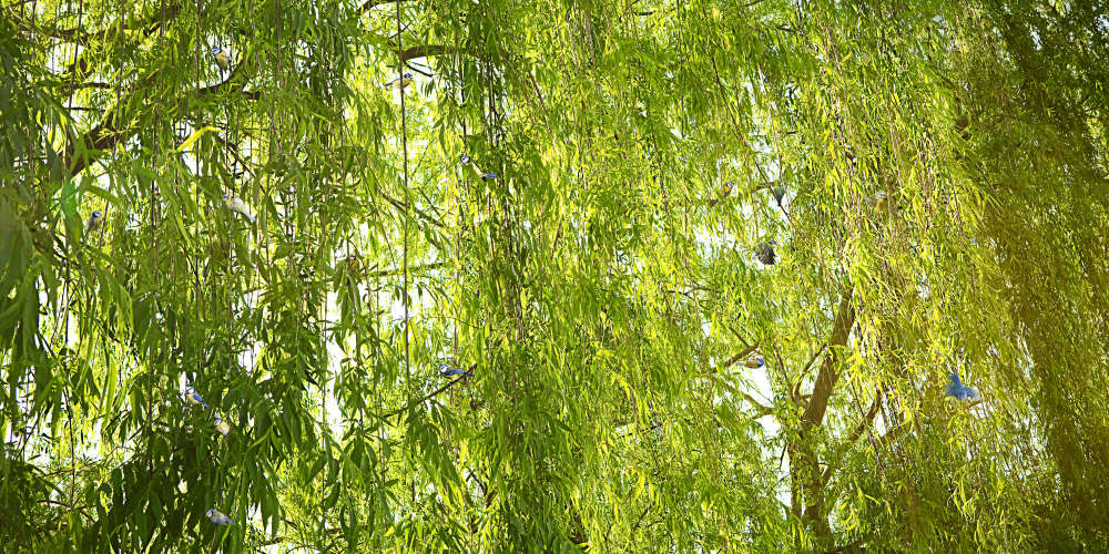 Todd Murphy, Untitled, Sovereign Tree (bluetits in willow branches), 2009