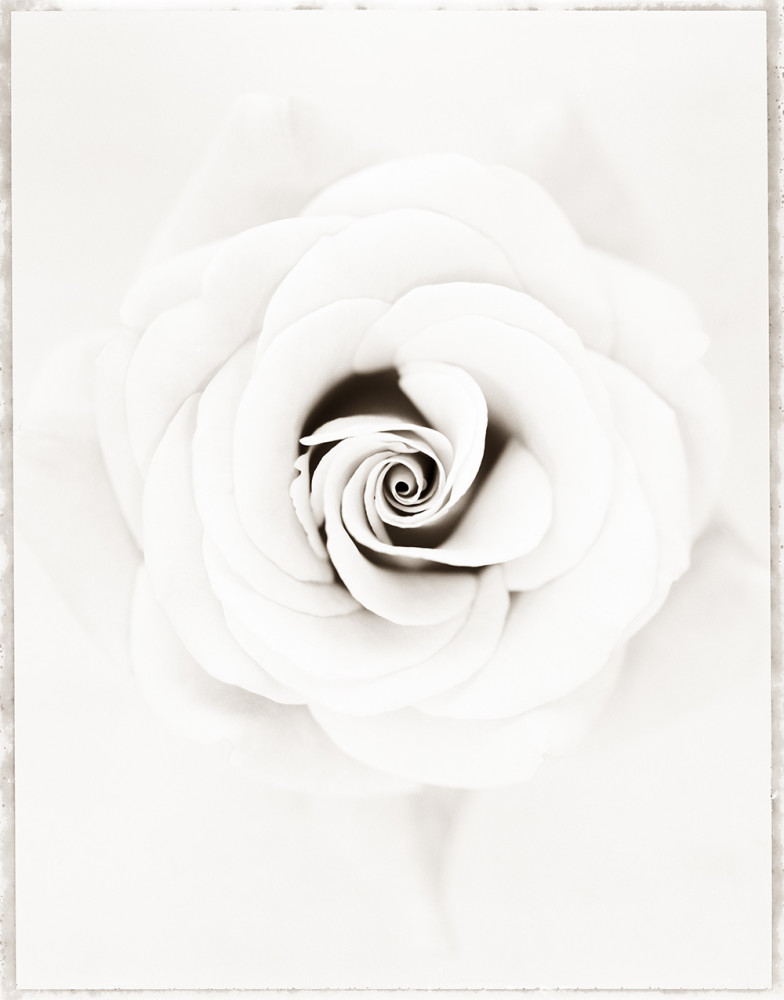 Ron Van Dongen, Rosa 'Aurora' (WOW053), 2001