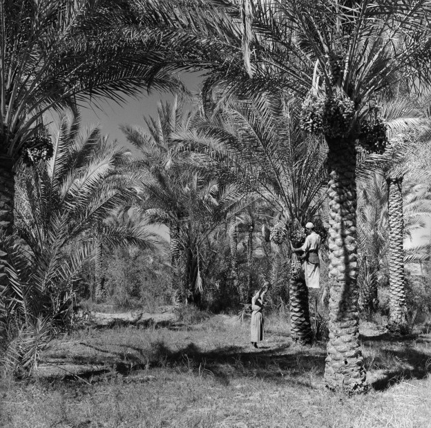 "<div class=""title""><em>Palm orchards, Jadriya, Baghdad, 1970</em>, 2019</div><div class=""medium"">Inkjet print on Hahnemuhle fine art photo rag pearl 320 gsm paper</div><div class=""dimensions"">100 x 100 cm</div><div class=""edition_details"">Edition of 3 (+2 AP)</div><div class=""edition_details""><p class=""p1""><br class=""Apple-interchange-newline"" />Latif Al Ani Collection, courtesy of the Arab Image Foundation and Gallery Isabelle van den Eynde, Dubai. </p></div>"