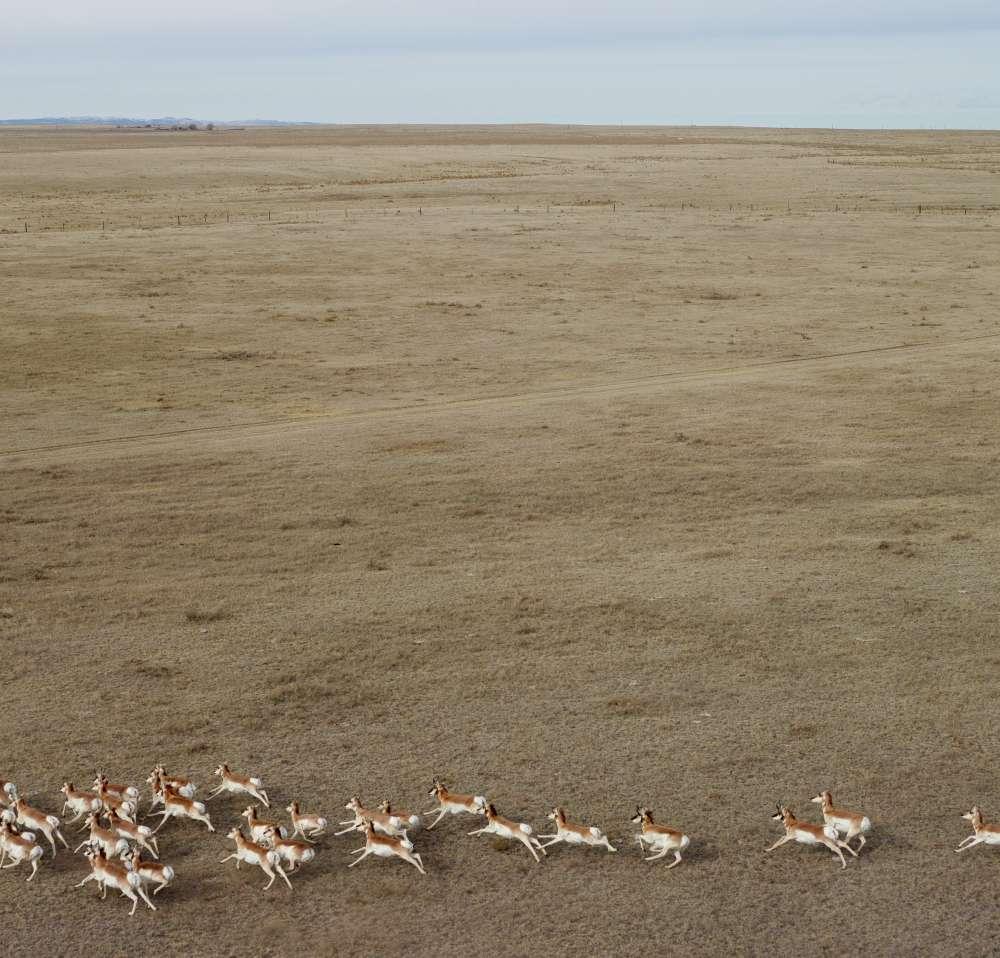 Andrew Moore, Pronghorn Antelope, Niobrara County, Wyoming, 2013 - Artwork 27134