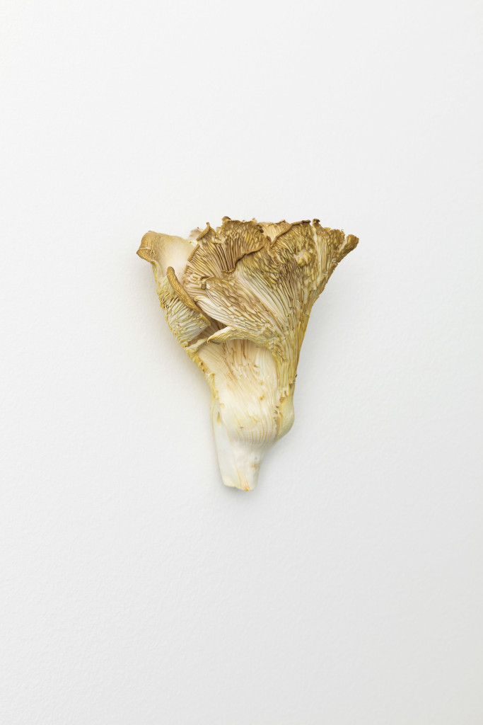 Oyster Mushroom / Austernpilz