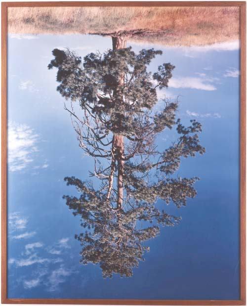 Ponderosa Pine I