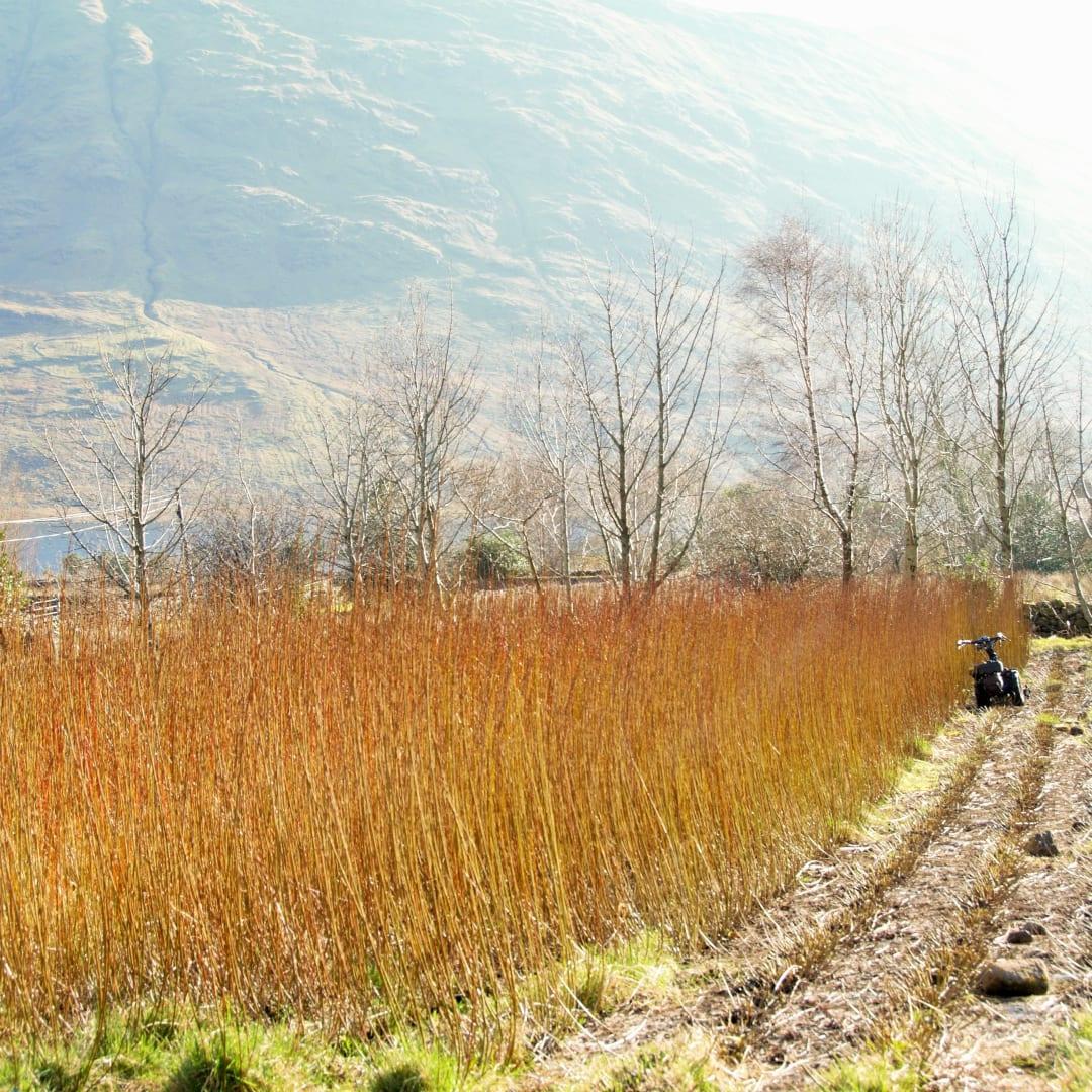 Willow field harvesting
