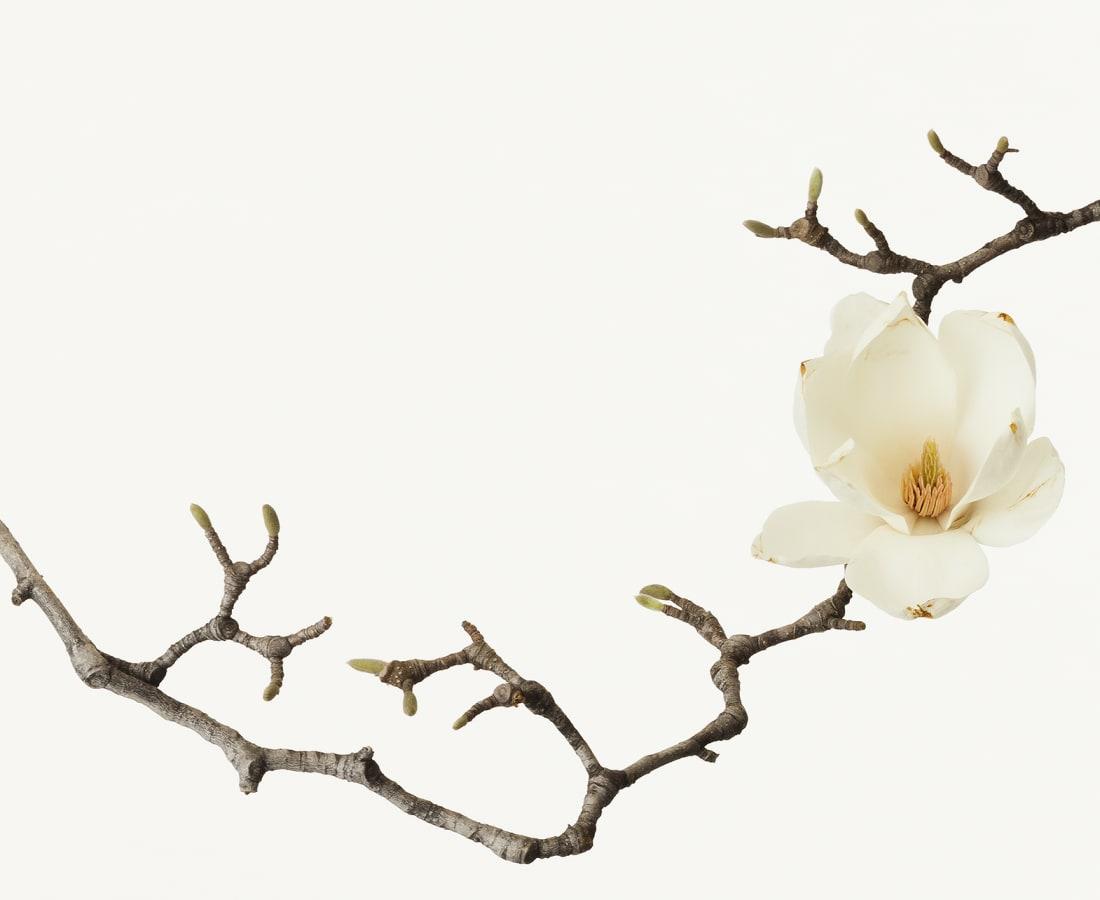 Takashi Tomo-oka, White Magnolia 1, Shiromokuren, 2013