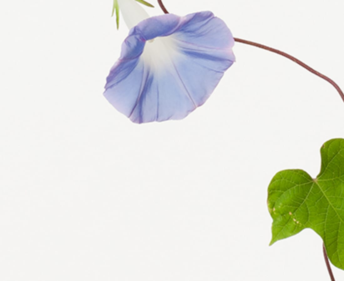Takashi Tomo-oka, Morning Glory 3, Asagao, 2014