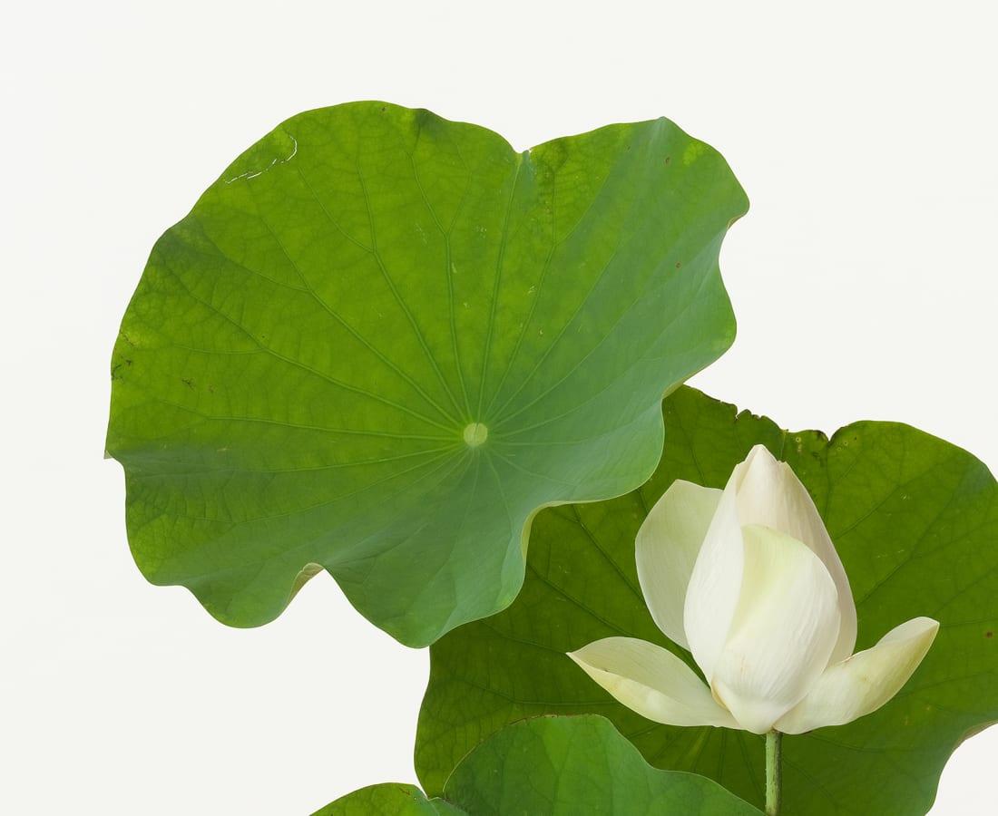Takashi Tomo-oka, Tathata Lotus 1, Shinnyoren, 2013
