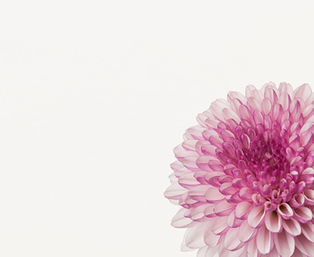 Takashi Tomo-oka, Chrysanthemum 3, Kiku, 2014