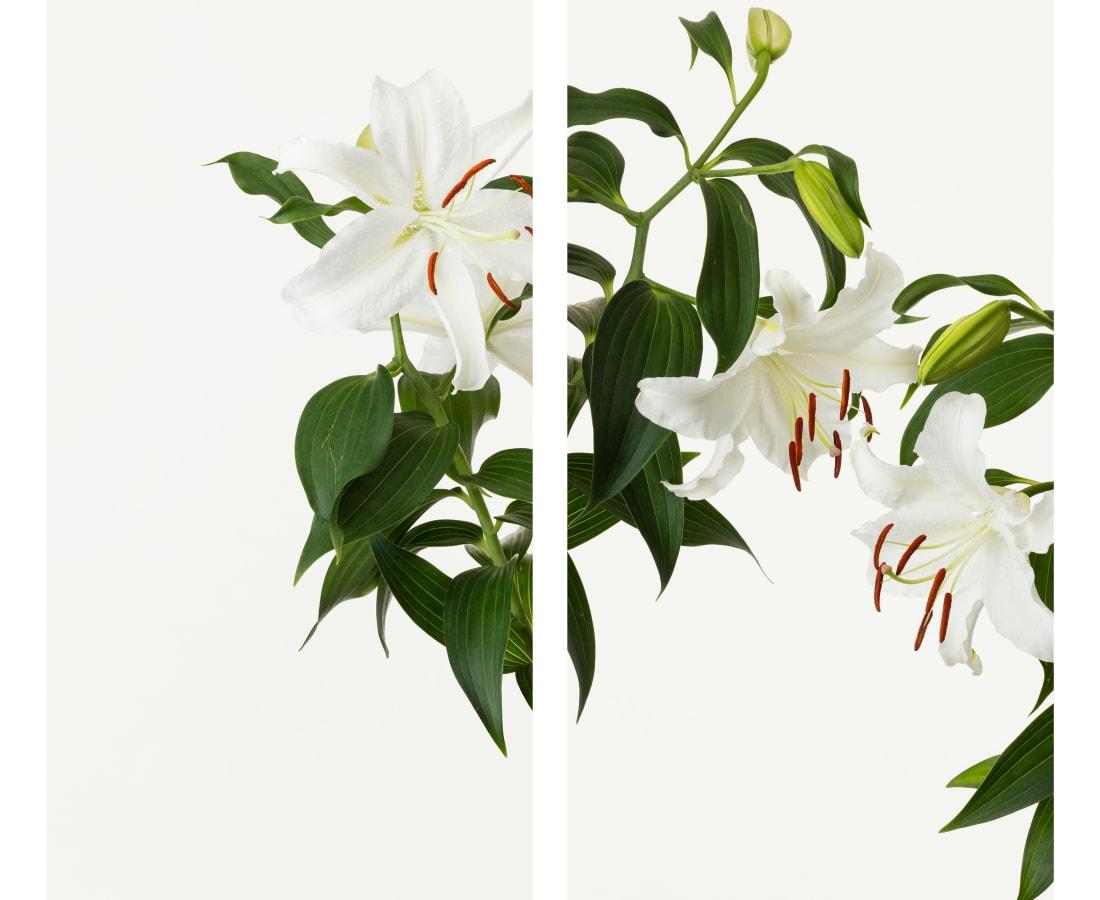Takashi Tomo-oka, White Plum Blossom 6, Shiraume, 2018