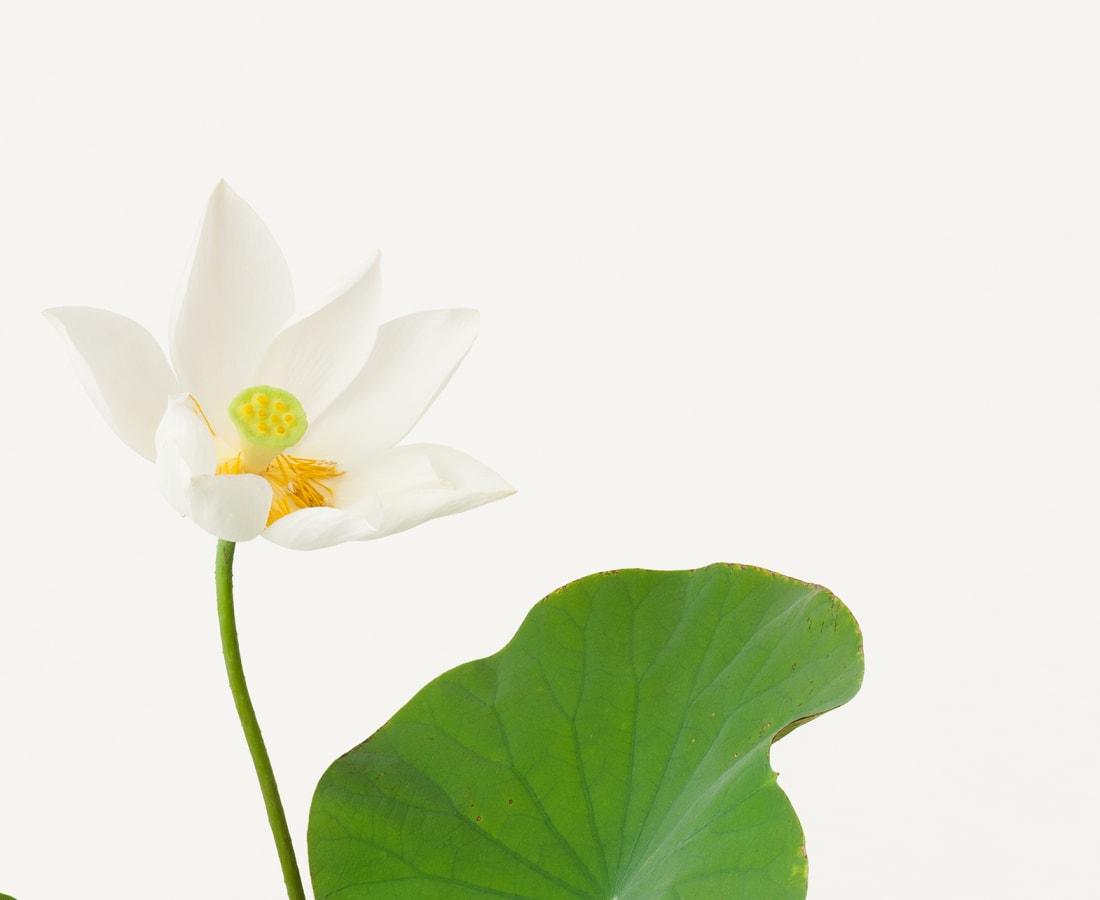 Takashi Tomo-oka, Kuwana White Lotus, Kuwana-Hakuren, 2013