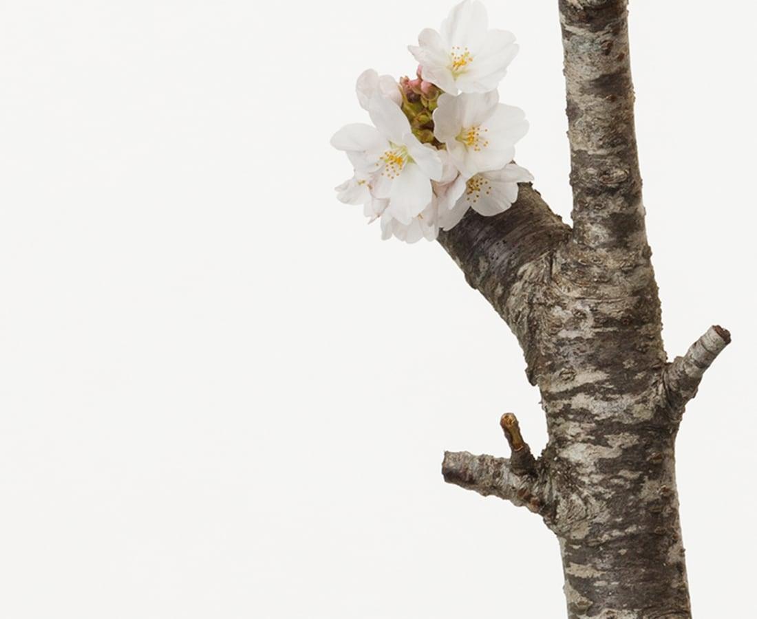 Takashi Tomo-oka, Cherry Blossom 2, Sakura, 2016