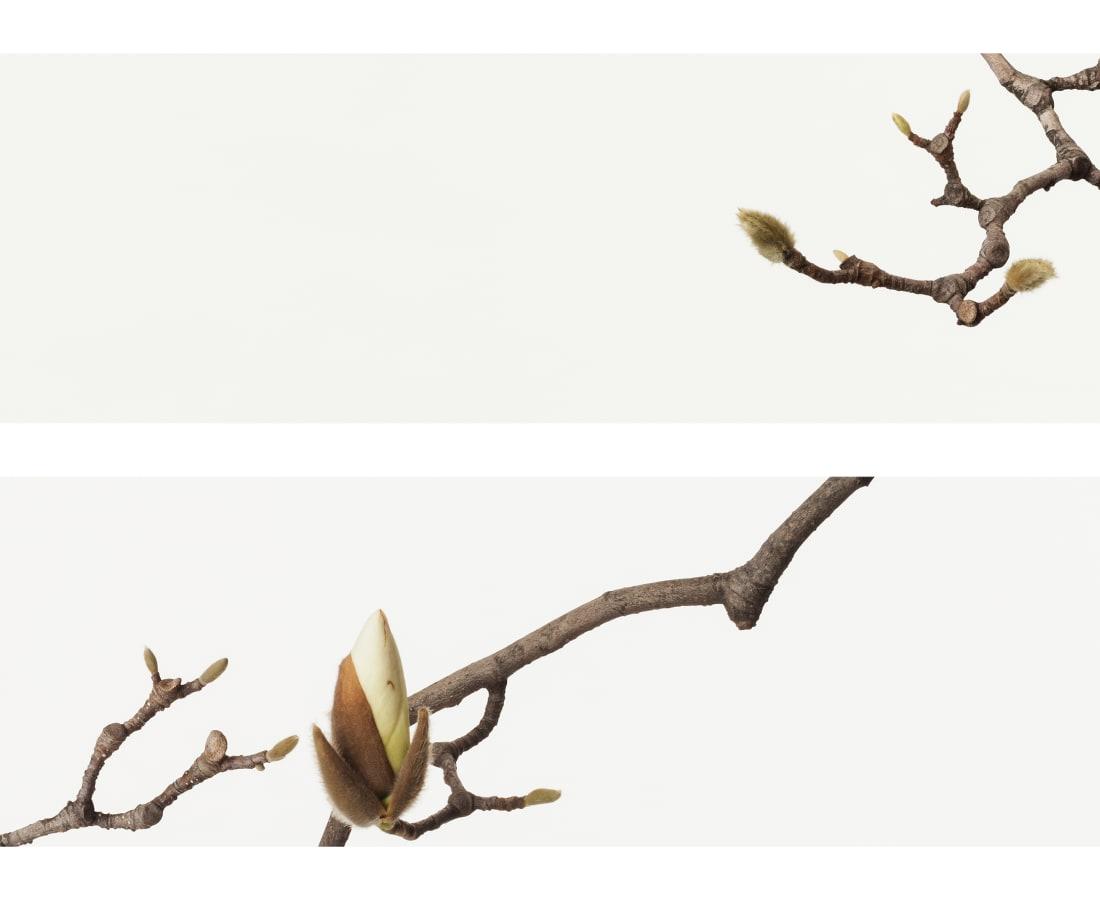 Takashi Tomo-oka, White Magnolia 4, Shiromokuren, 2016