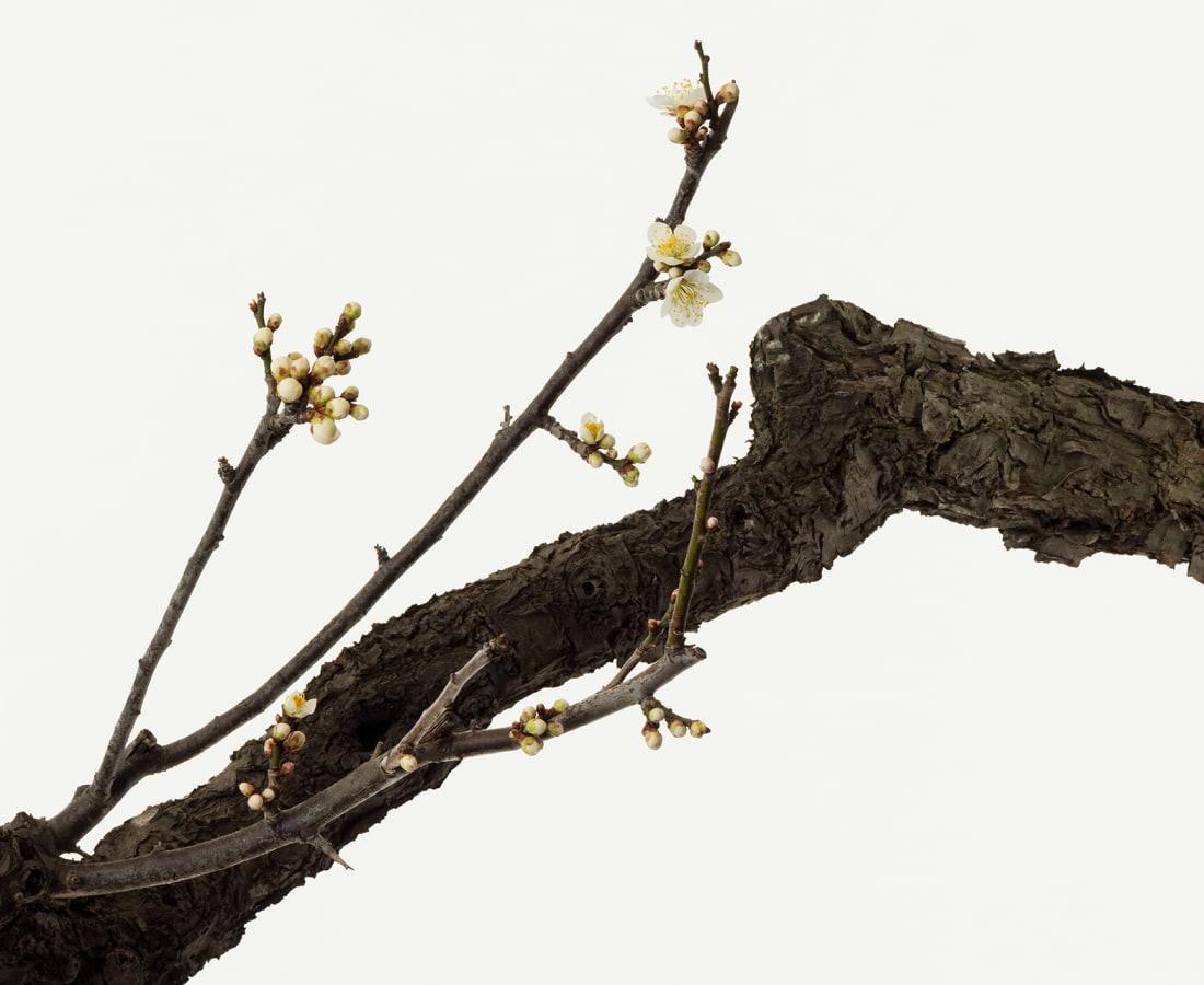 Takashi Tomo-oka, White Plum Blossom 5, Shiraume, 2018