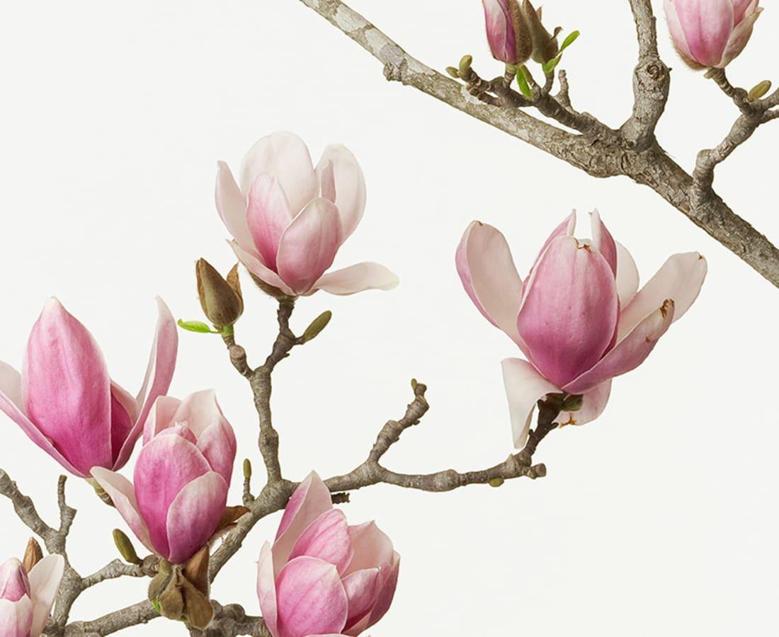 Takashi Tomo-oka, Magnolia Liliiflora 2, Mokuren, 2012