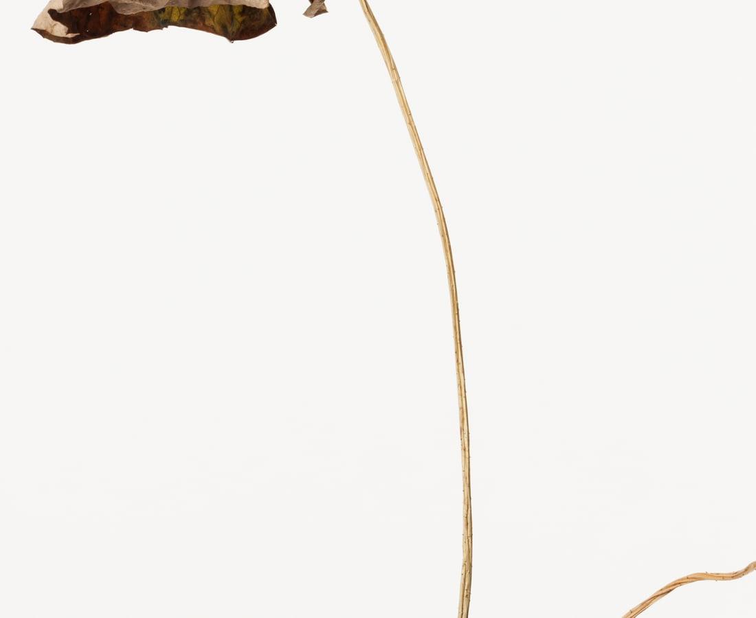 Takashi Tomo-oka, Dried Lotus 3, Karehasu, 2014