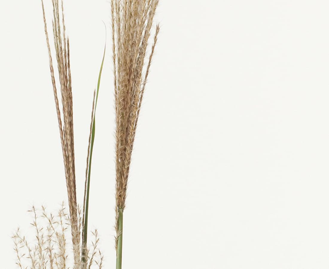 Takashi Tomo-oka, Pampas Grass1, Susuki, 2013