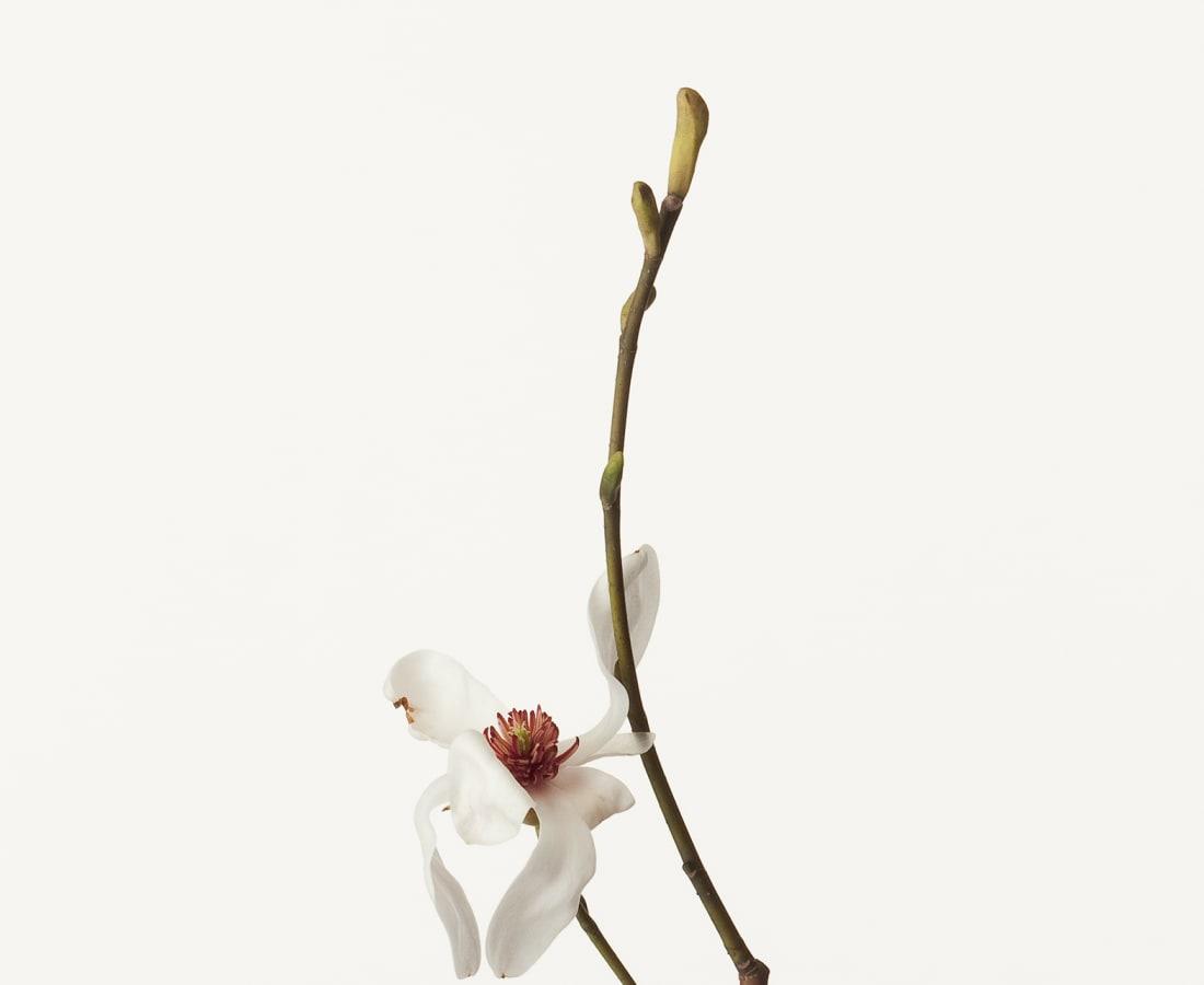Takashi Tomo-oka, Magnolia Kobus 1, Kobushi, 2012