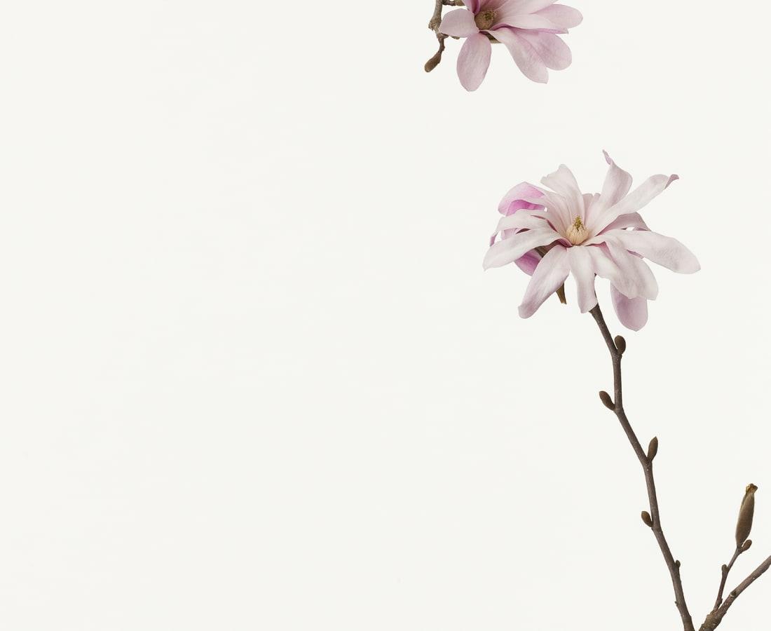 Takashi Tomo-oka, Magnolia Kobus 2, Kobushi, 2013