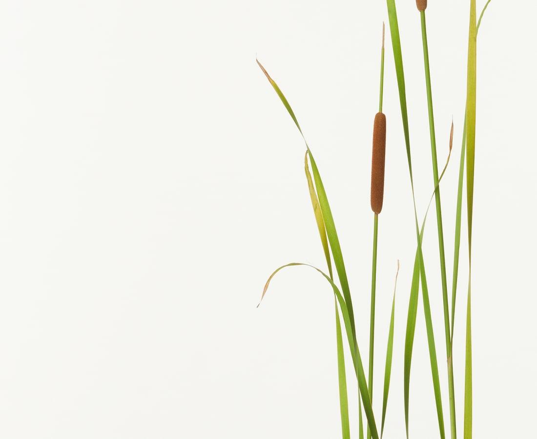 Takashi Tomo-oka, Small Reedmace, Himegama, 2013