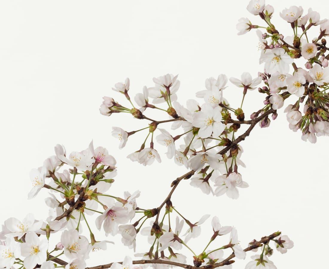 Takashi Tomo-oka, Cherry Blossom 4, Sakura, 2016
