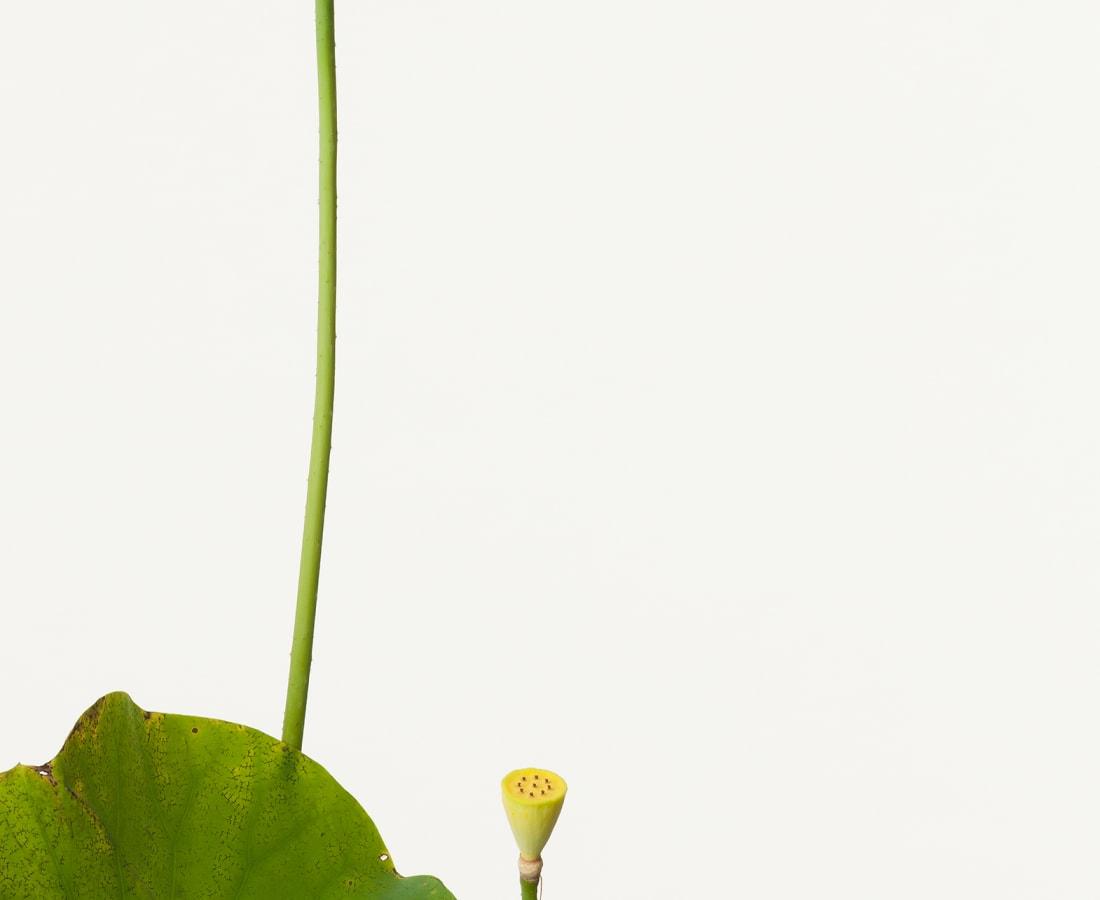 Takashi Tomo-oka, Pink Lotus 2, Oren, 2013