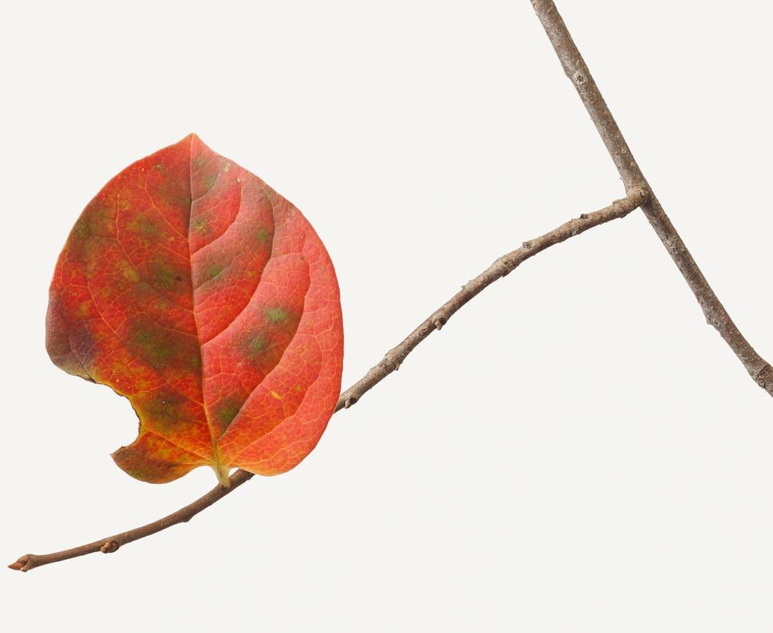 Takashi Tomo-oka, Persimmon Leaf 1, Kaki-no-ha, 2014