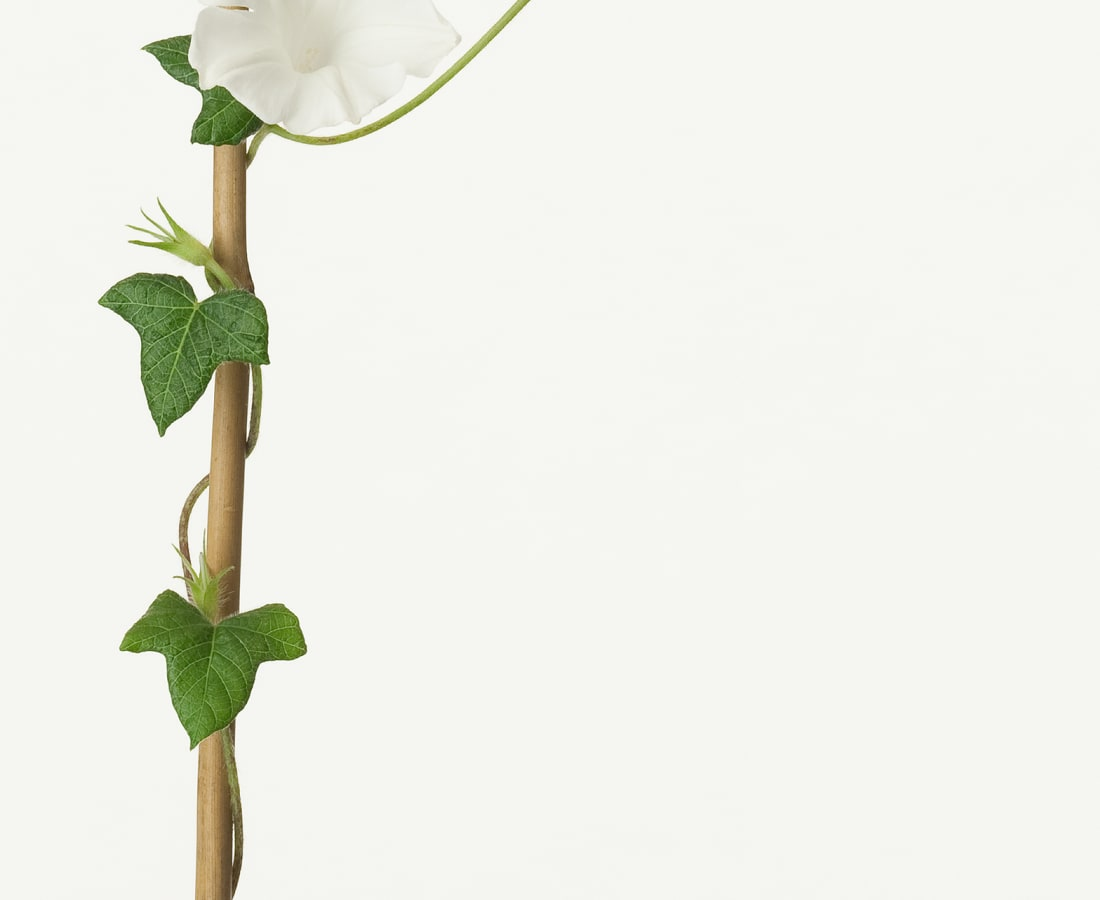 Takashi Tomo-oka, Morning Glory 2, Asagao, 2013