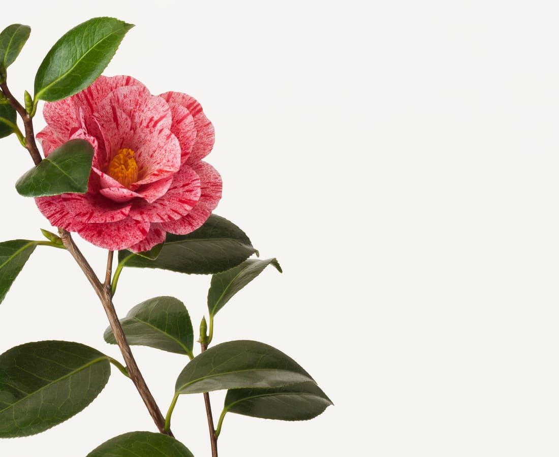 Takashi Tomo-oka, Camellia 4, Tsubaki, 2016