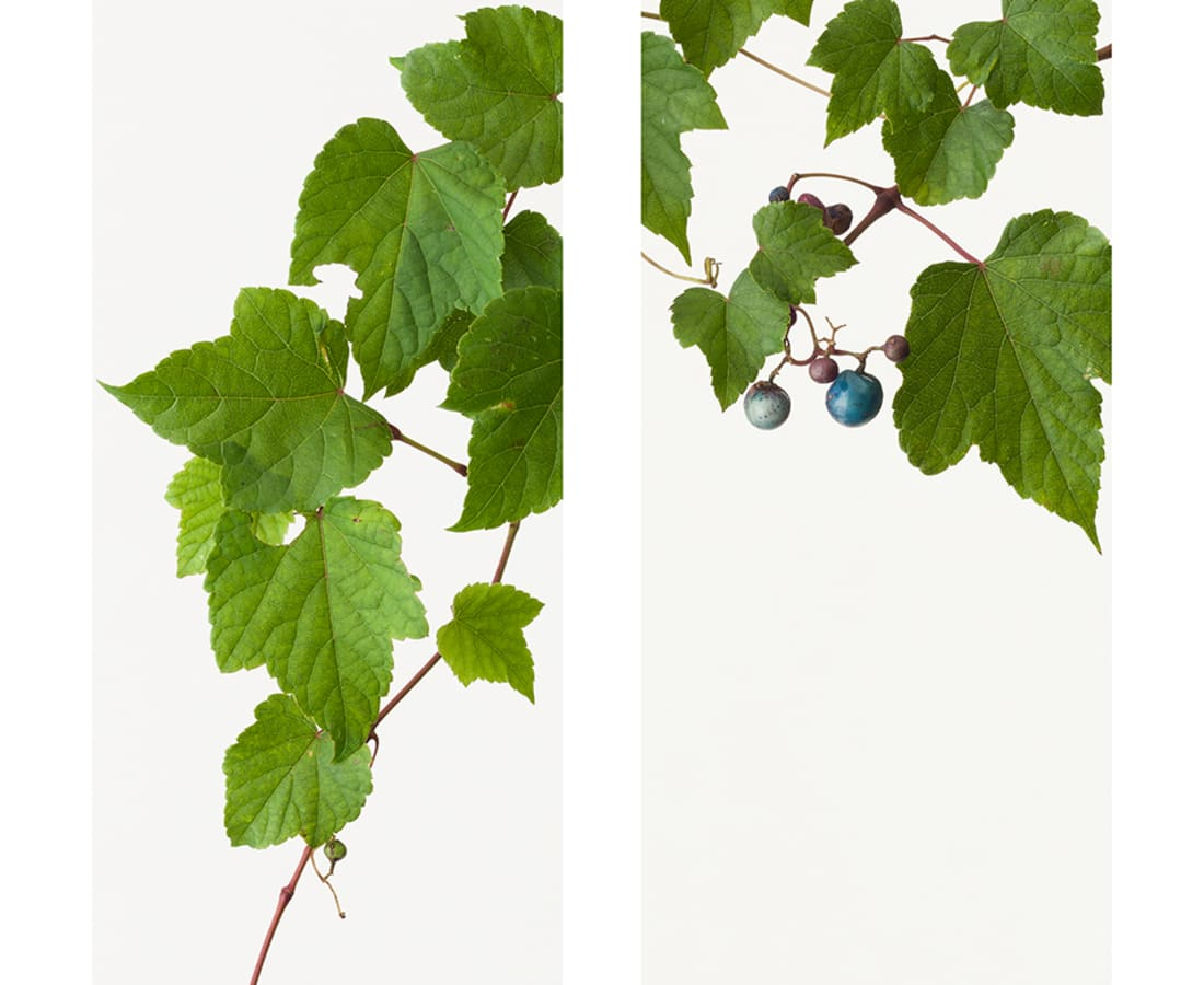 Takashi Tomo-oka, Wild Grape 1, Nobudo, 2014