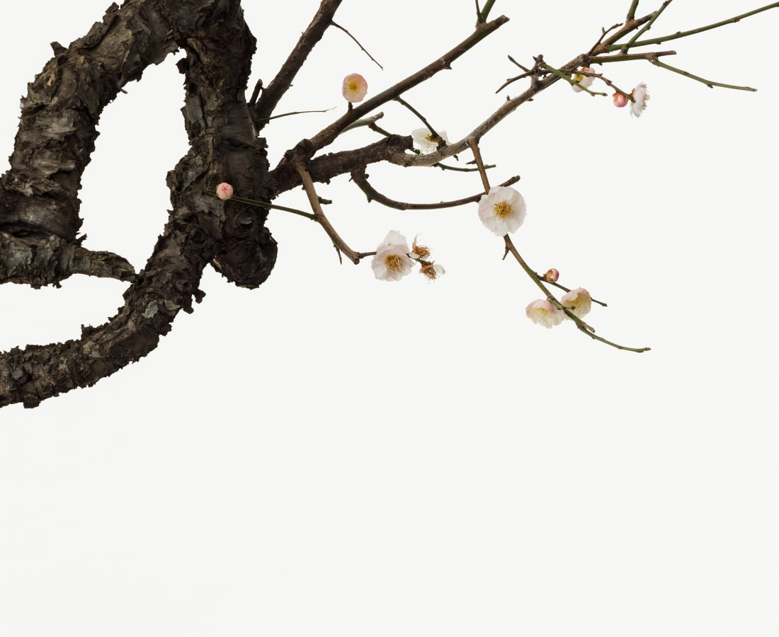 Takashi Tomo-oka, Plum 1, Ume, 2016