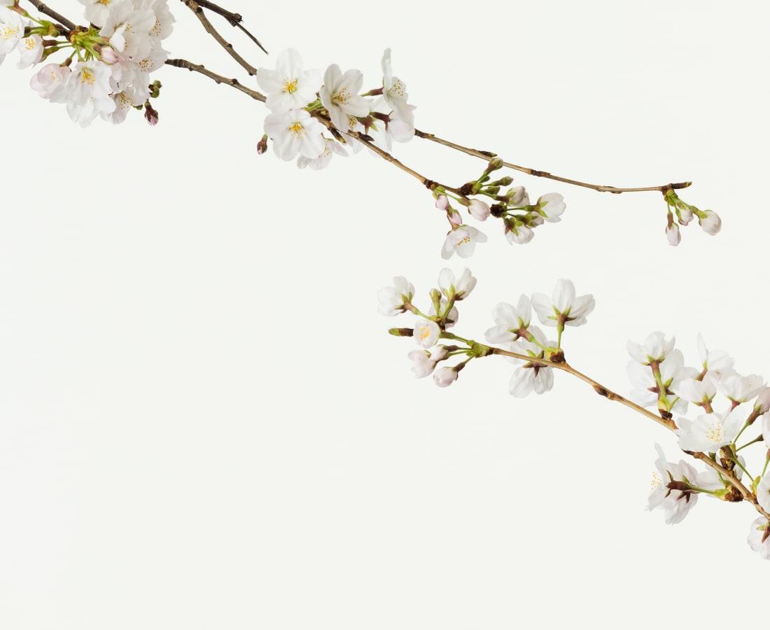 Takashi Tomo-oka, Cherry Blossom 3, Sakura, 2016