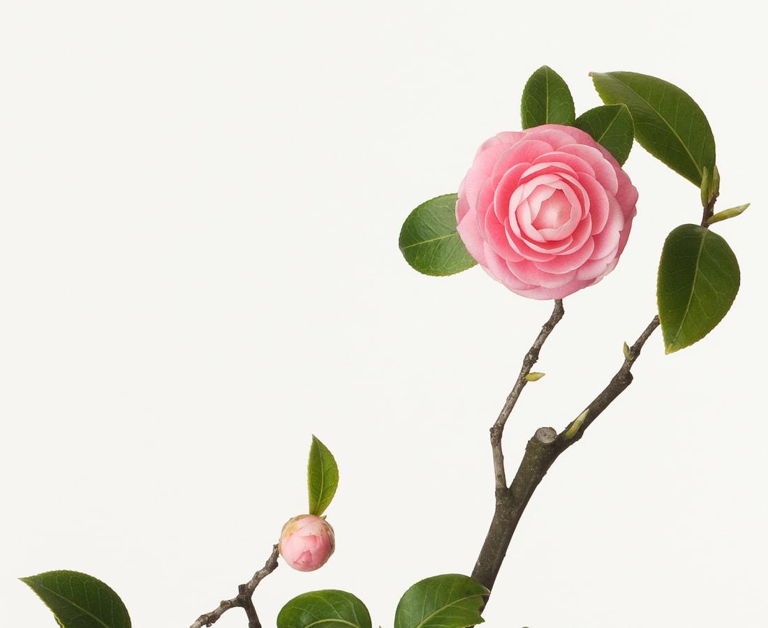 Takashi Tomo-oka, Maiden Camellia, 2010