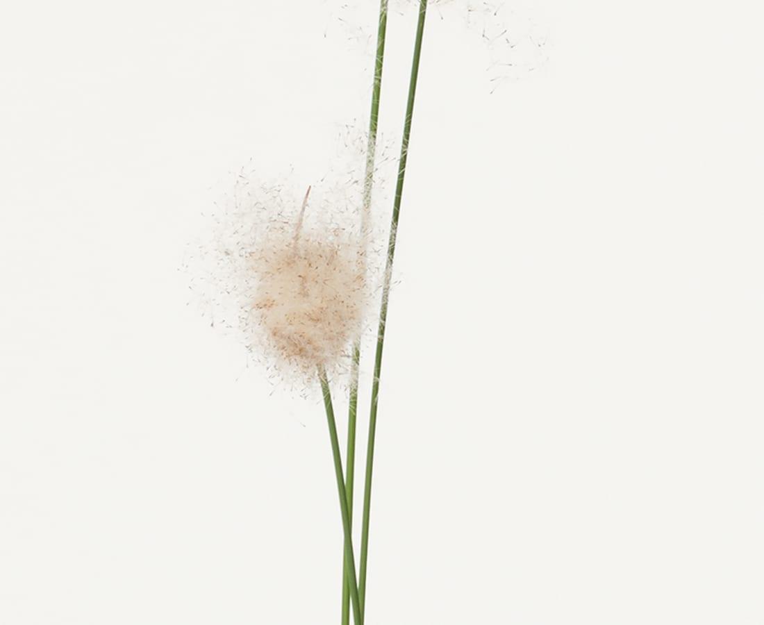 Takashi Tomo-oka, Pampas Grass, Susuki, 2016