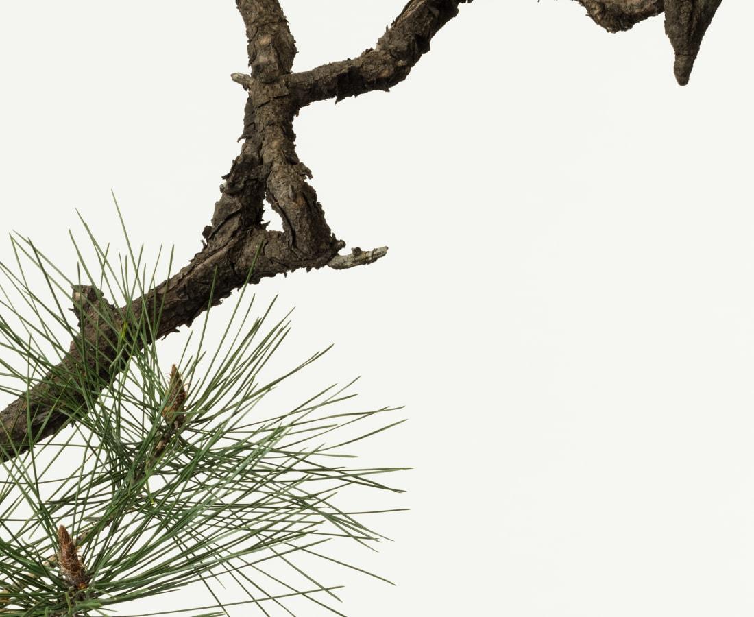 Takashi Tomo-oka, Pine 5, Matsu, 2015
