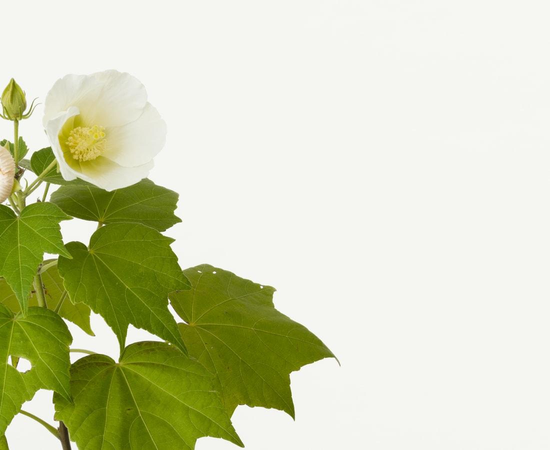 Takashi Tomo-oka, Hibiscus 1, Fuyo, 2019